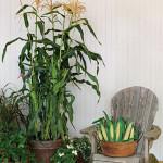 Deck Corn