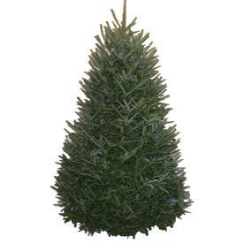 Fresh 5 - 6 ft Fraser Fir Christmas Tree Only $19.48 From ...